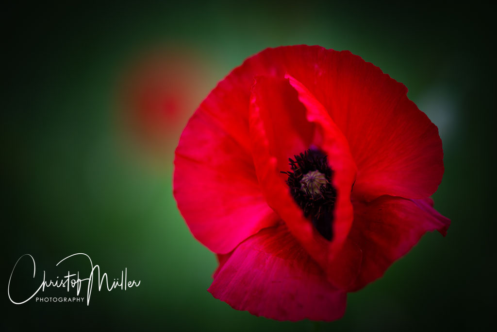 Common Poppy (Papaver rhoeas) (Luxembourg)