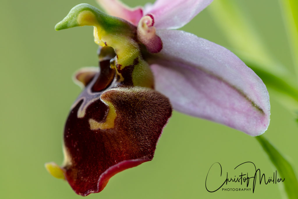 Late spider orchid (Ophrys holoserica , D: Hummel-Ragwurz F: Ophrys bourdon) (Luxembourg)