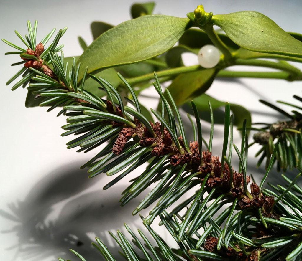 """Abies alba (Weisstanne) mit den typischen Nadeln: Unterseite mit 2 weissen Wachsstreifen. Sichtbar sind zudem die männlichen letztjährigen Blütenstände (""""Zäpfchen"""") entlang des Zweiges und die neu angelegten an der Spitze."""