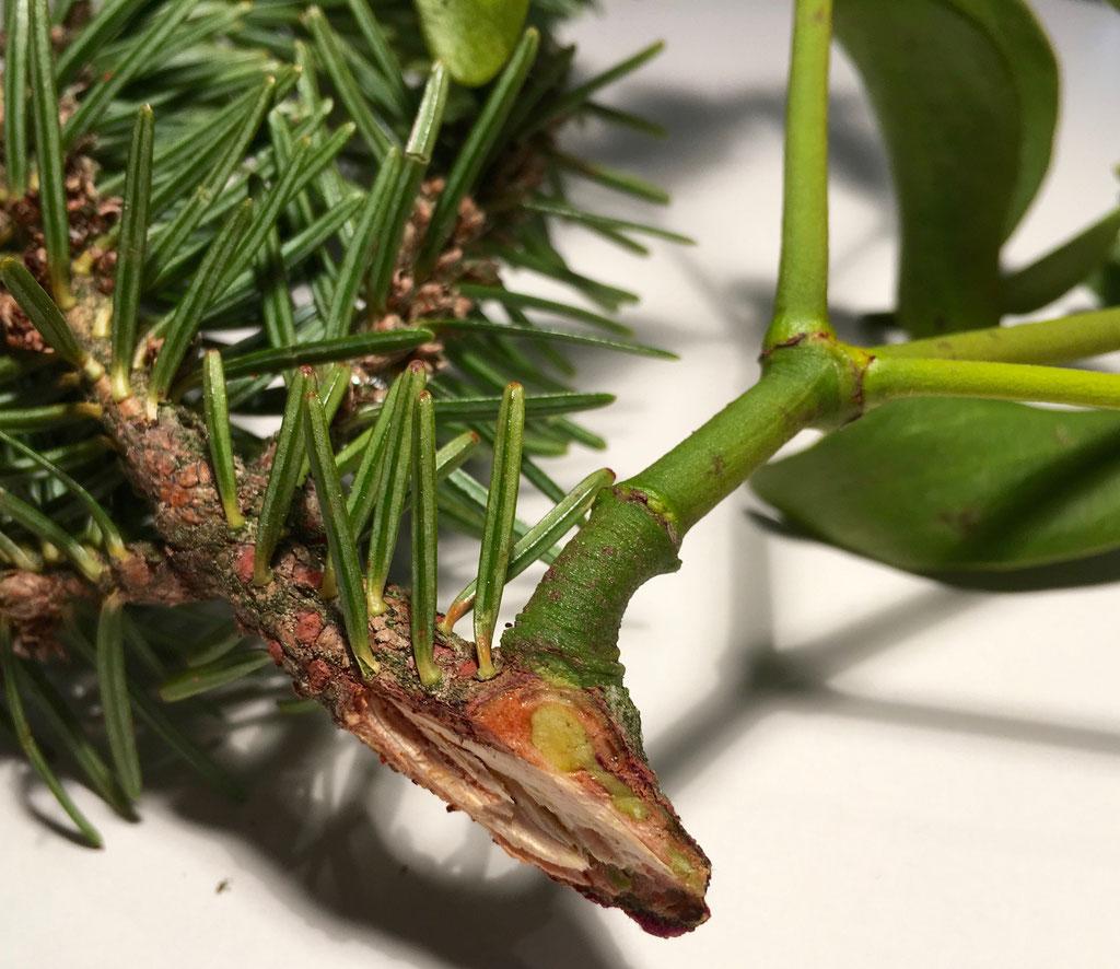 Viscum dringt in Abies alba (Weisstanne) ein. Die grüne Struktur unter der Rinde ist gut sichtbar.