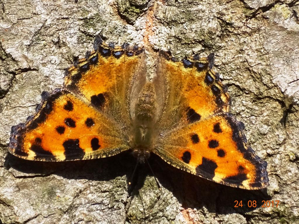 Großer Fuchs, Nymphalis polychlorus