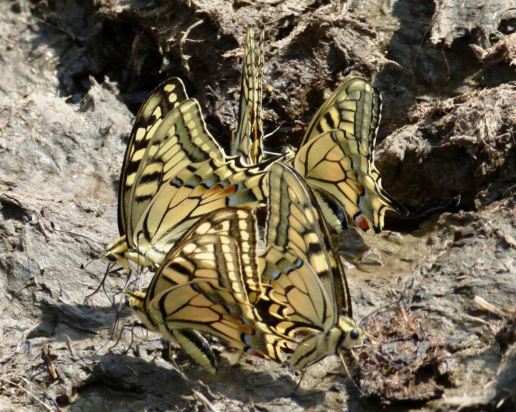 Schwalbenschwänze, Papilio machaon