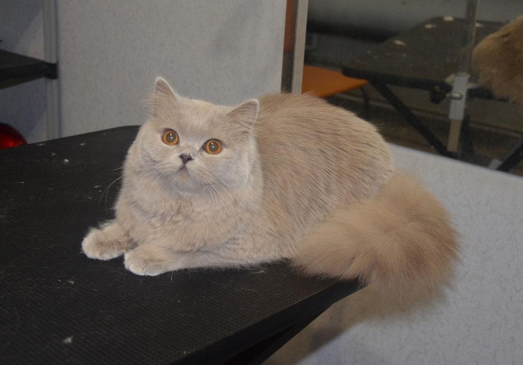 выставочный груминг британской длинношерстной кошки