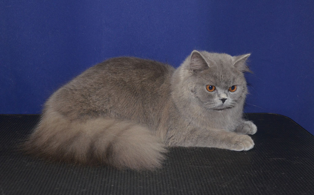 подготовка к выставке британской длинношерстной кошки