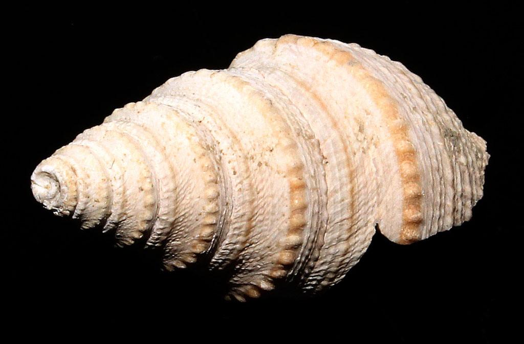 Bathytoma cataphracta, Rio Rocca: dettaglio dei cordoni