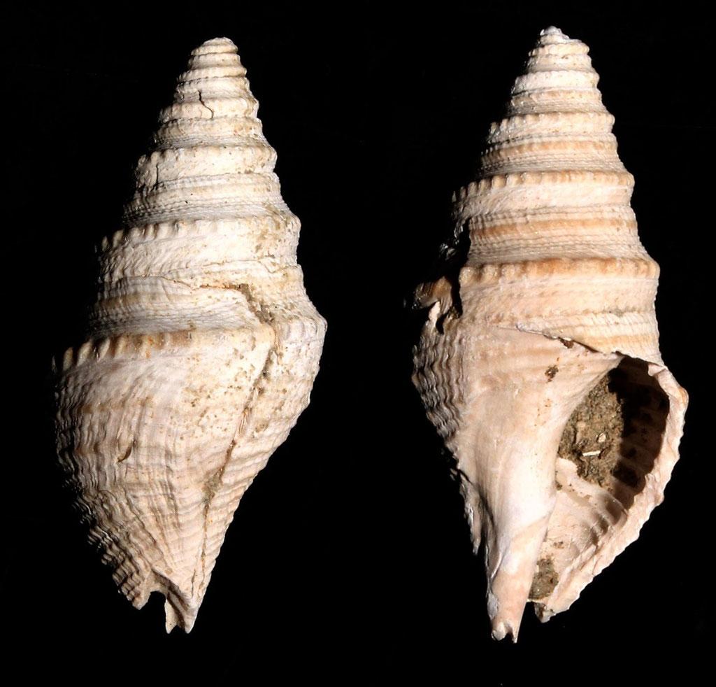 Bathytoma cataphracta, Rio Rocca