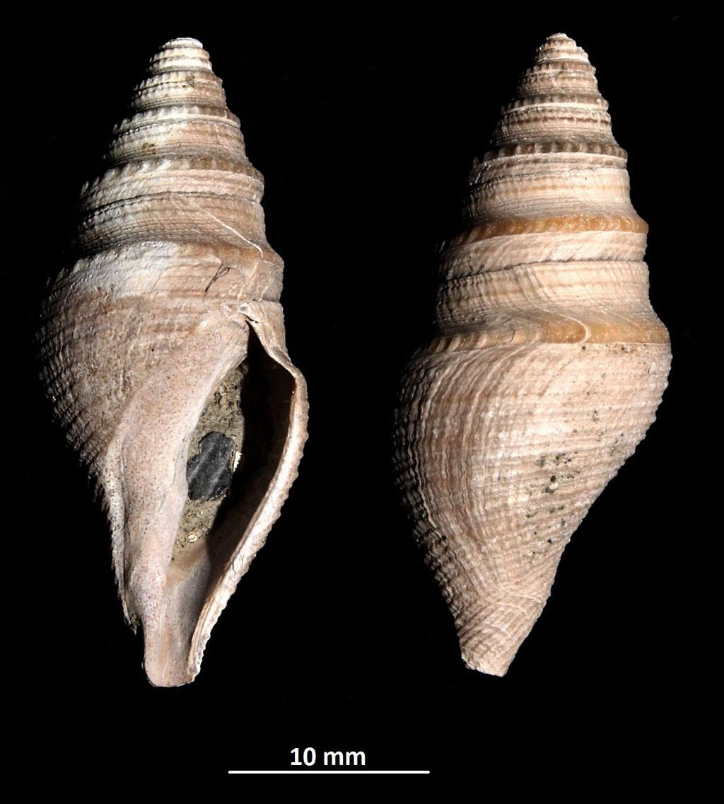 Bathytoma cataphracta, Vignola (MO)