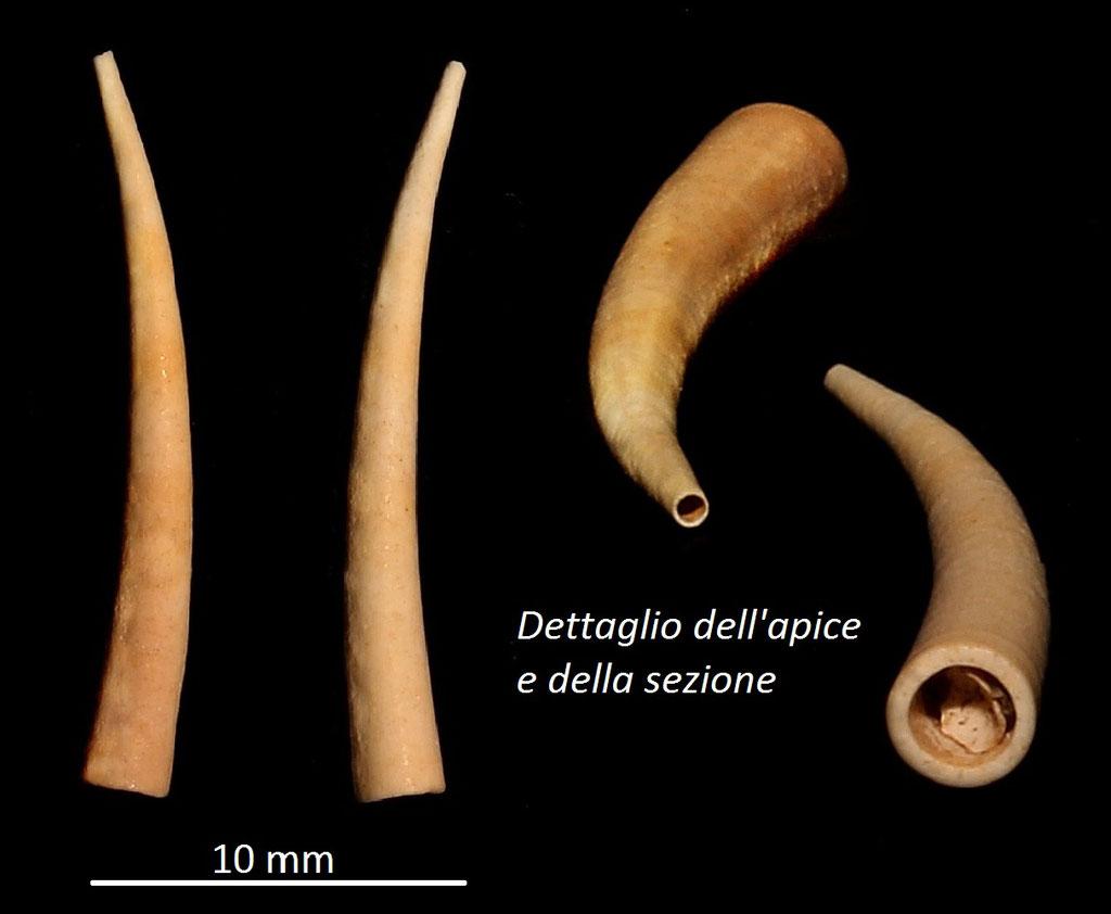Dentalium burdigalinum, Miocene dell'Aquitania