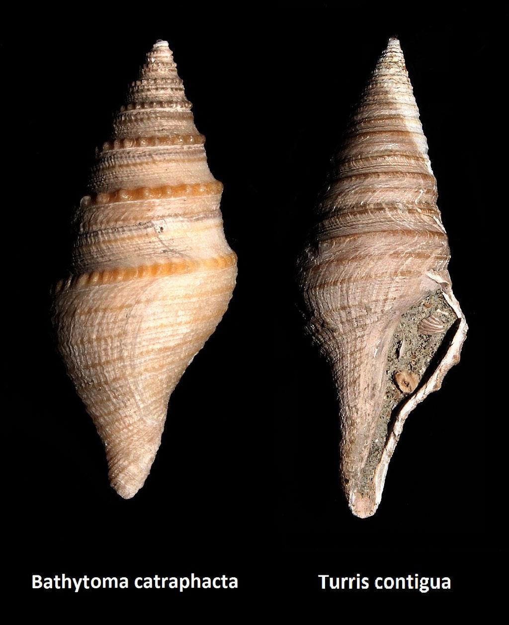 Differenza tra B. cataphracta e T. contigua (entrambe da Vignola (MO))