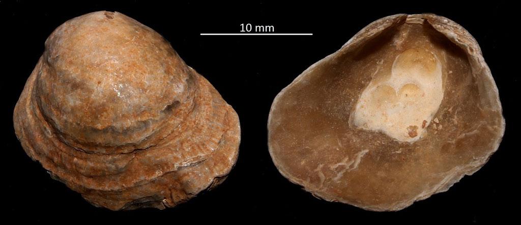 Anomia burdigalensis, Miocene dell'Aquitania