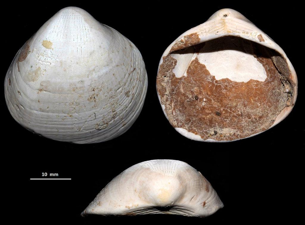 Glycymeris inflata, località Pisciarello, Tarquinia (VT)