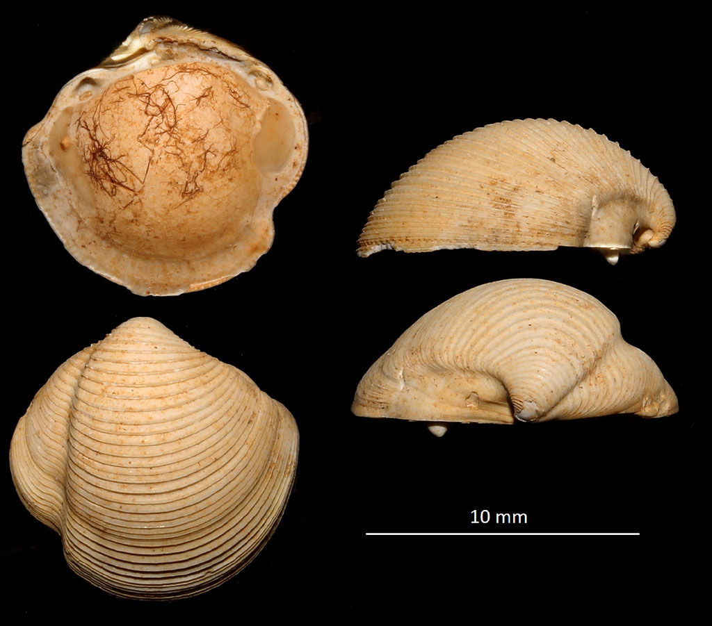 Phacoides columbella, Miocene dell'Aquitania