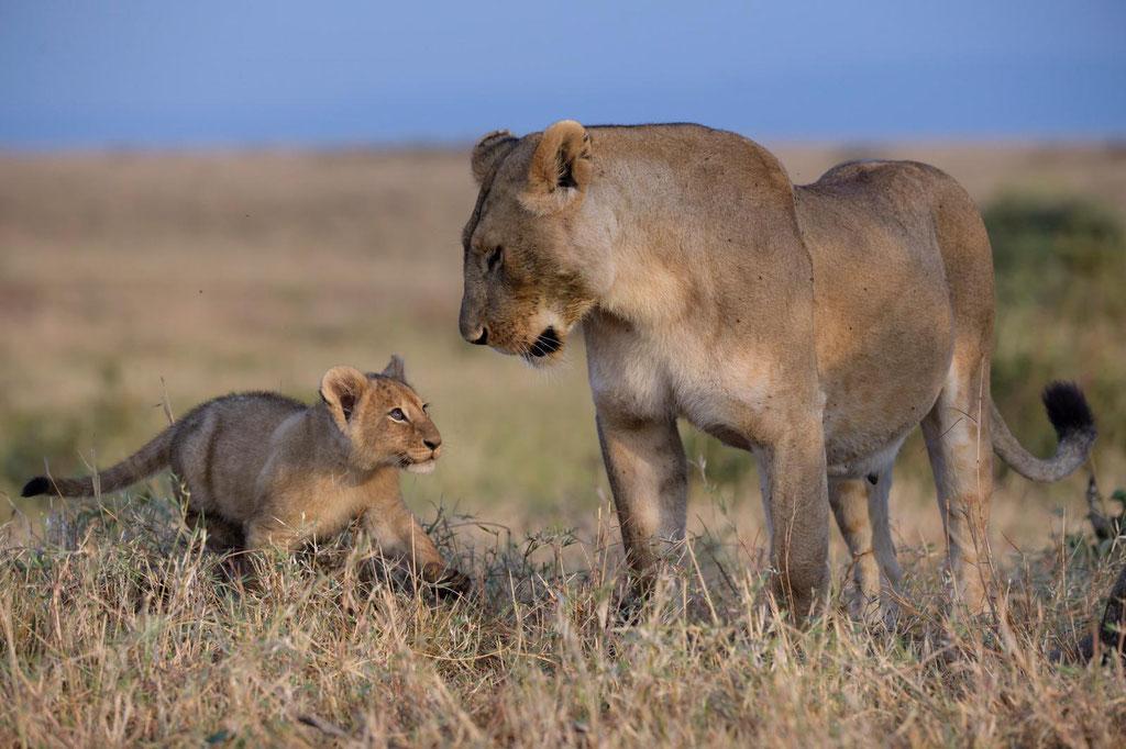 Löwenbabys Masai Mara - fotografiert Fotosafari Uwe Skrzypczak