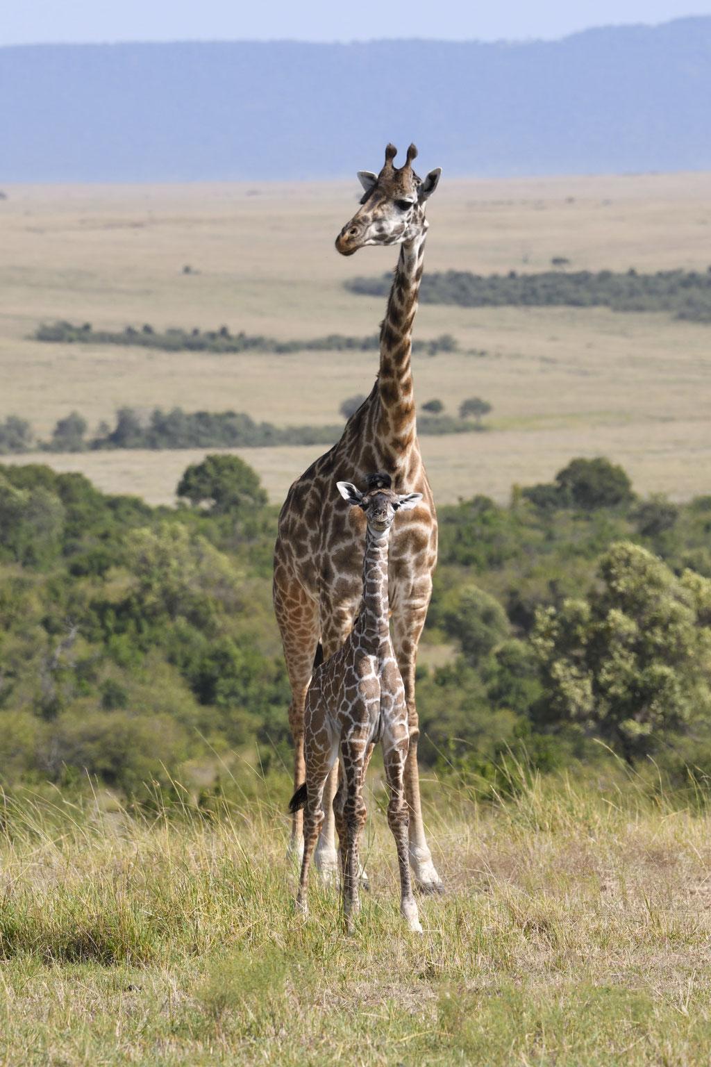 Giraffe mit Baby - fotografiert Uwe Skrzypczak - Fotosafari Masai Mara Kenia