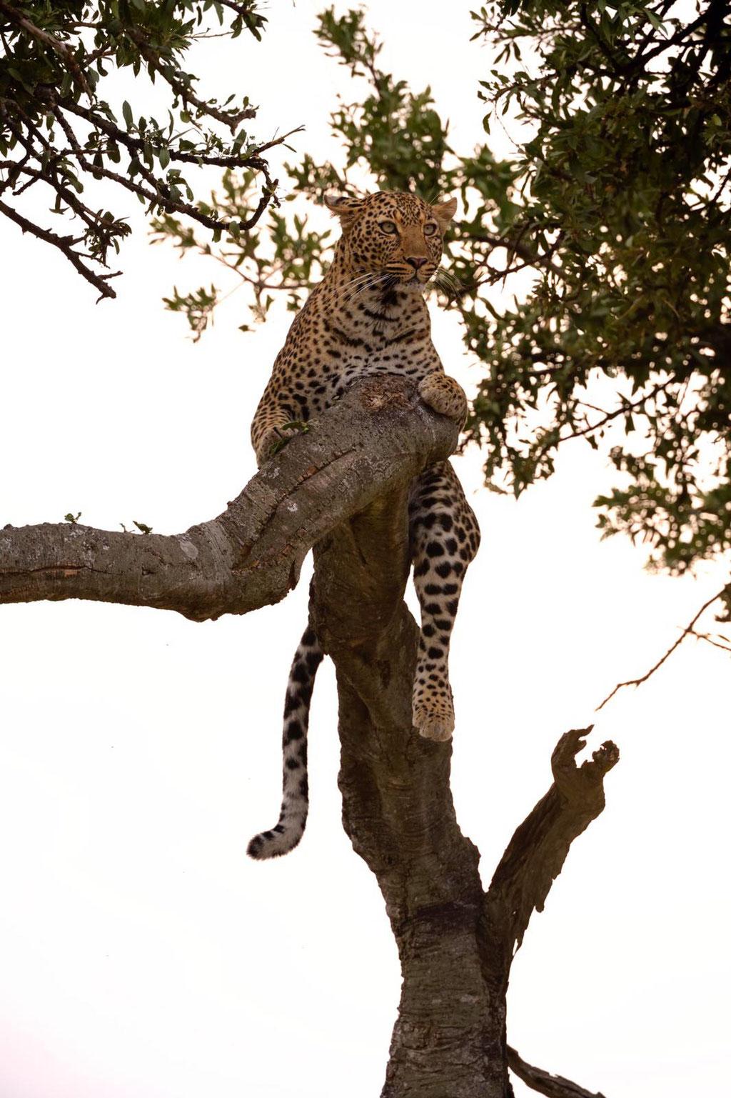 Leopardin Bella 2 auf Baum im Abendlicht - Fotosafari bei Uwe Skrzypczak