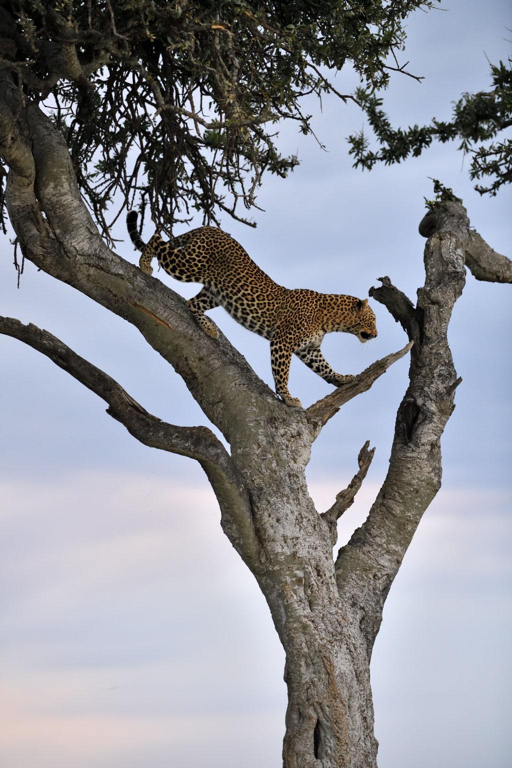 Die Leopardin Bella 2 im Abendlicht - fotografiert Uwe Skrzypczak - Fotosafari Masai Mara Kenia