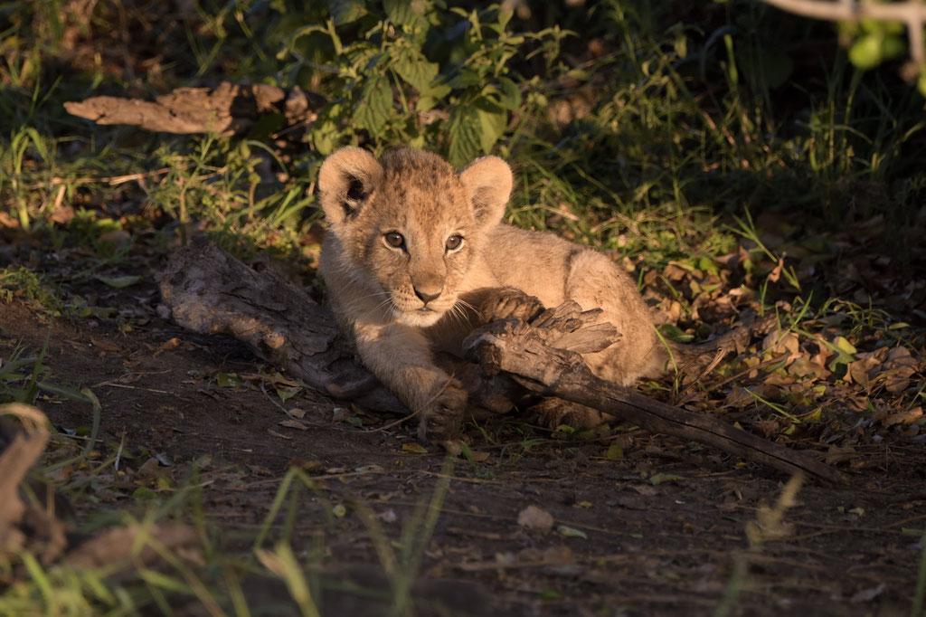 Löwenbabys vom Ridge Pride im Morgenlicht- fotografiert Uwe Skrzypczak - Fotosafari Masai Mara Kenia