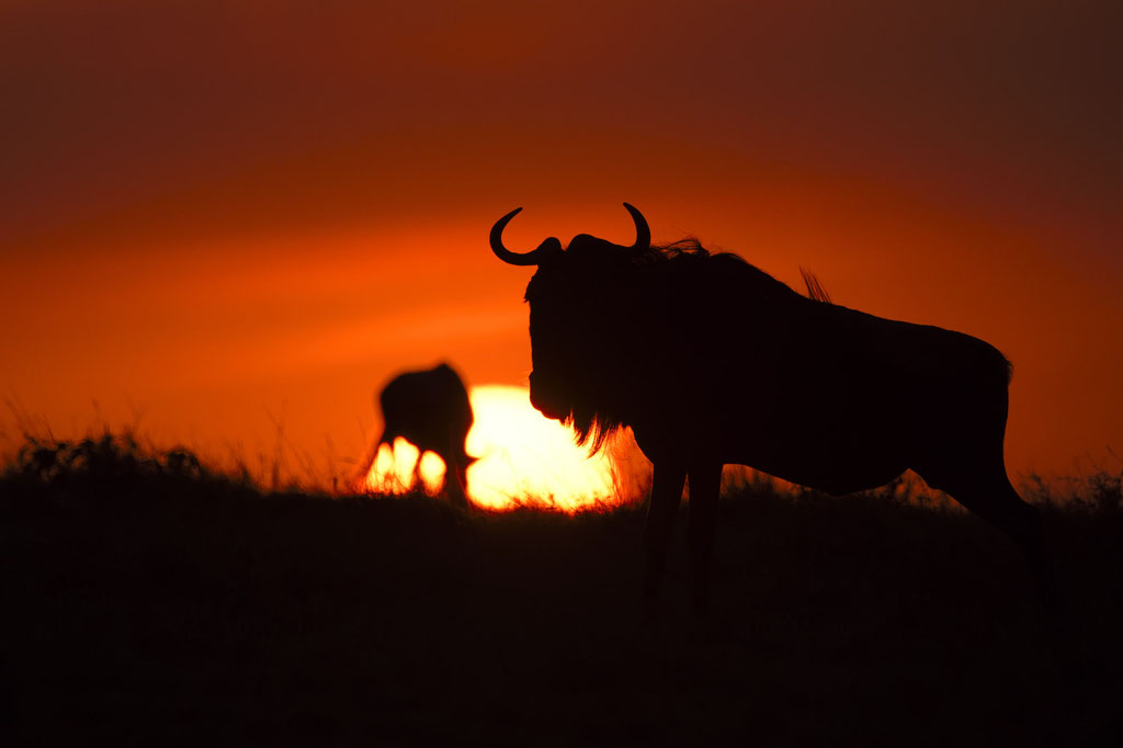 Gnu im Sonnenuntergang, Rongai Masai Mara fotografiert Uwe Skrzypczak