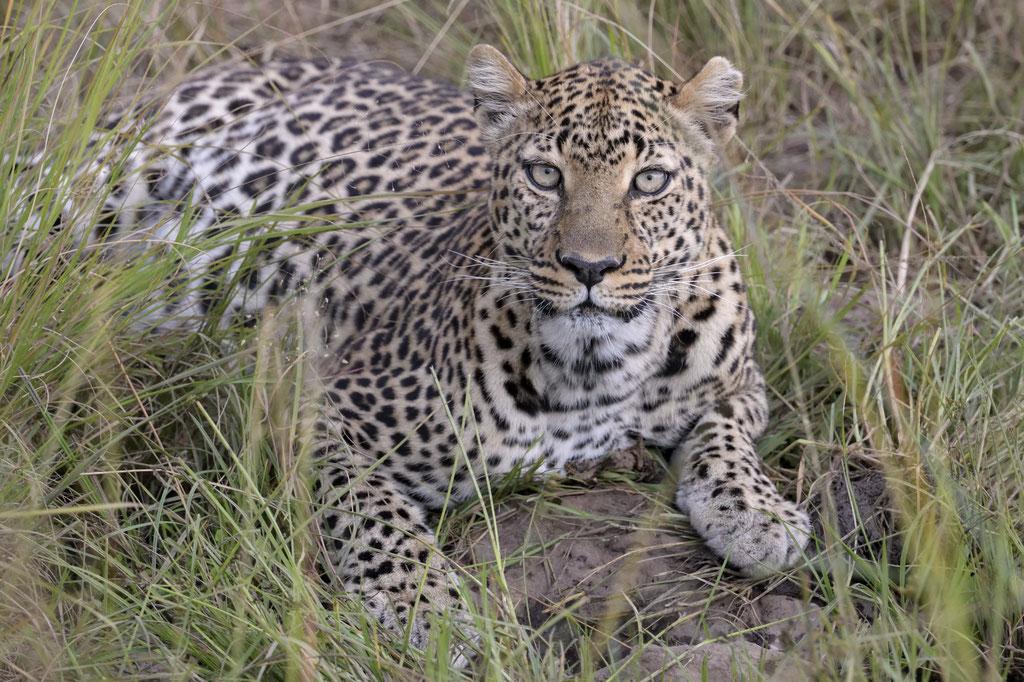 Siri, die Leopardin im Abendlicht - fotografiert Uwe Skrzypczak - Fotosafari Masai Mara Kenia
