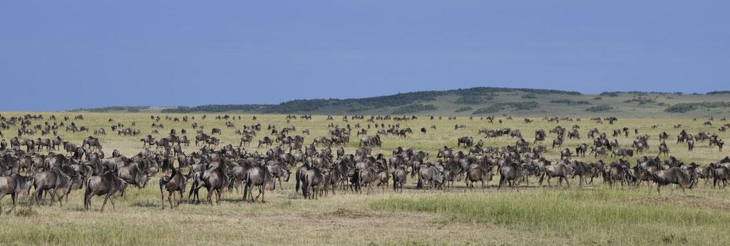 Wandernde Gnus am Rhinoridge - fotografiert Uwe Skrzypczak - Fotosafari Masai Mara Kenia