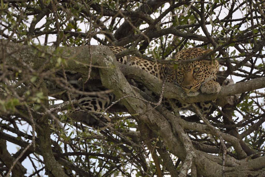 Die Leopardin Bella 2 im Mittagslicht - fotografiert Uwe Skrzypczak - Fotosafari Masai Mara Kenia