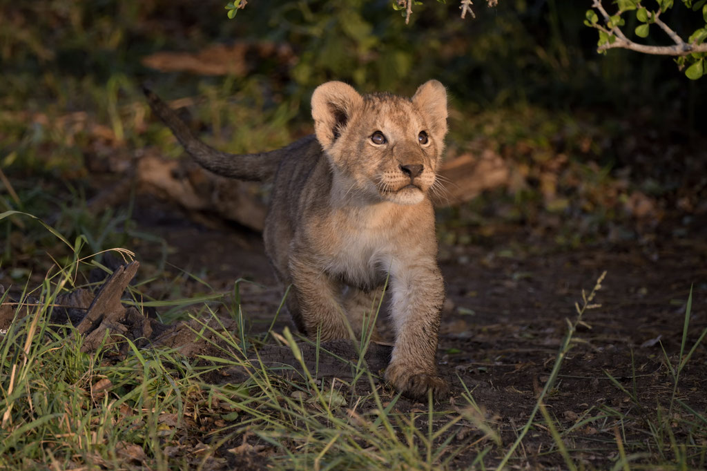 Löwenbabys vom Ridge Pride im Morgenlicht - fotografiert Uwe Skrzypczak - Fotosafari Masai Mara Kenia