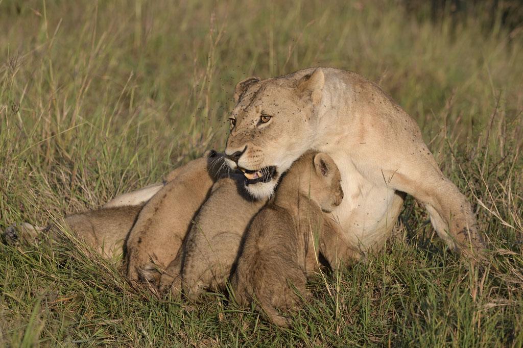Eine Löwin versucht, Büffel von ihren Babys abzuhalten - fotografiert Uwe Skrzypczak - Fotosafari Masai Mara Kenia