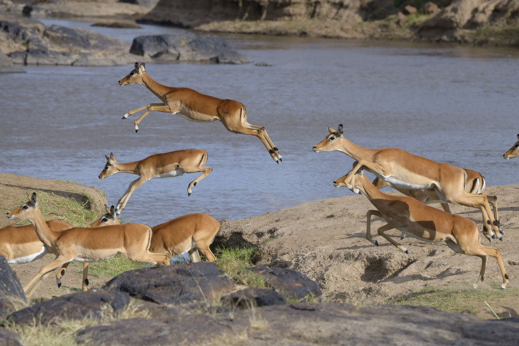 Impalas am Mara River - fotografiert Uwe Skrzypczak - Fotosafari Masai Mara Kenia