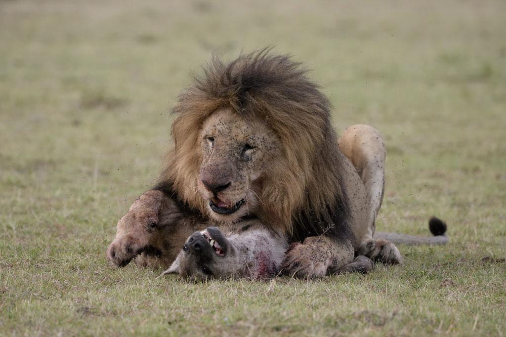 Olorpapit killt eine Hyäne - fotografiert Uwe Skrzypczak - Fotosafari Masai Mara Kenia