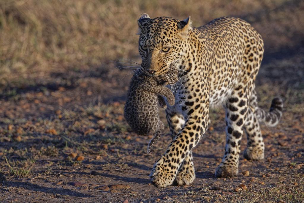 Leopard und Baby Masai Mara