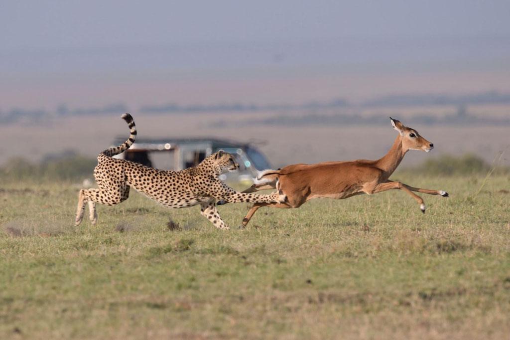 Gepardin Armani bei der Jagd - Fotosafari bei Uwe Skrzypczak