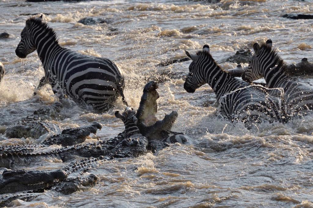 Zebra Crossing Masai Mara Kenia, fotografiert Uwe Skrzypczak