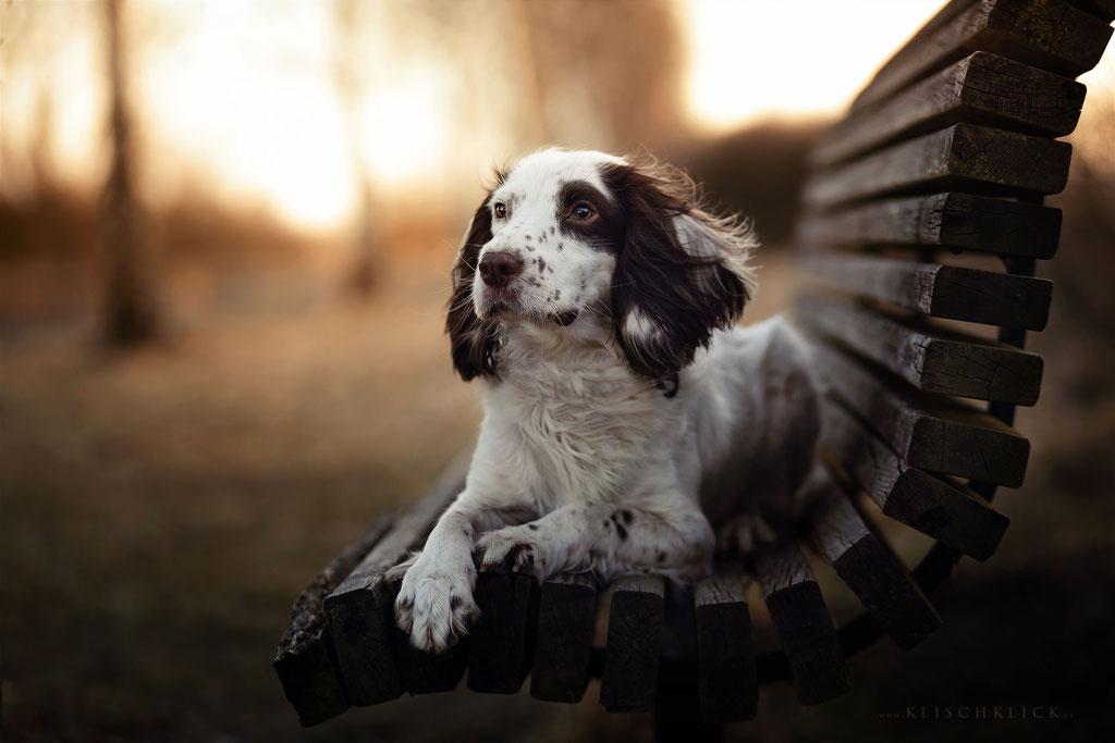 Springer Spaniel Hundefotograf Berlin