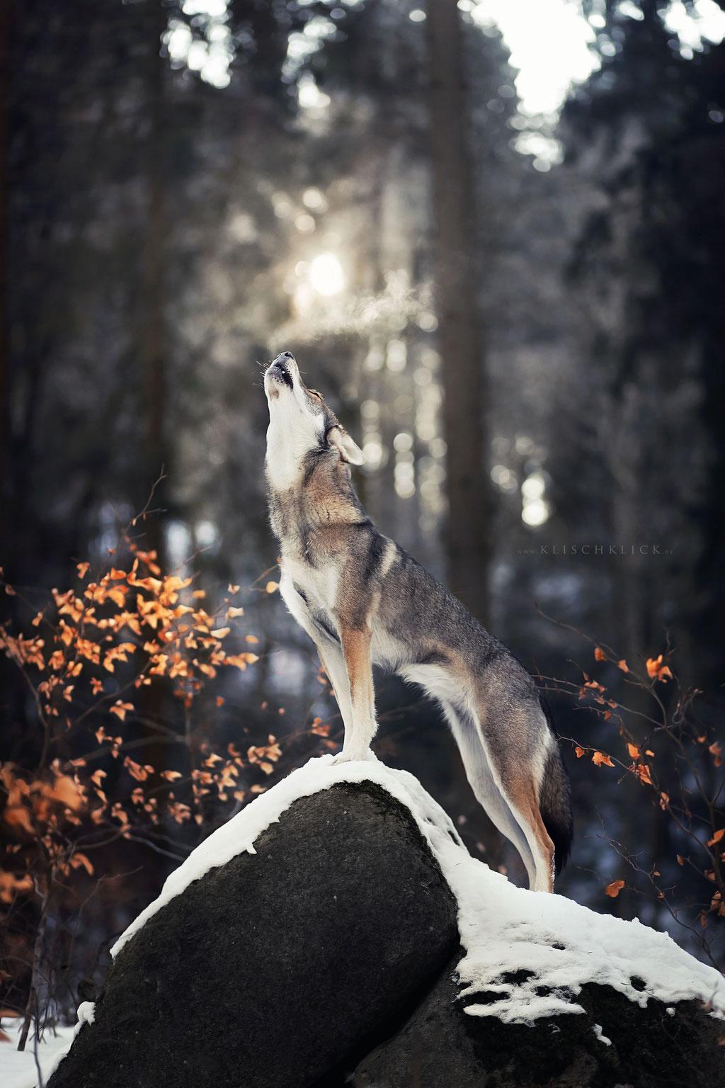 Severin Klisch Tierfotografie heulender Tamaskan