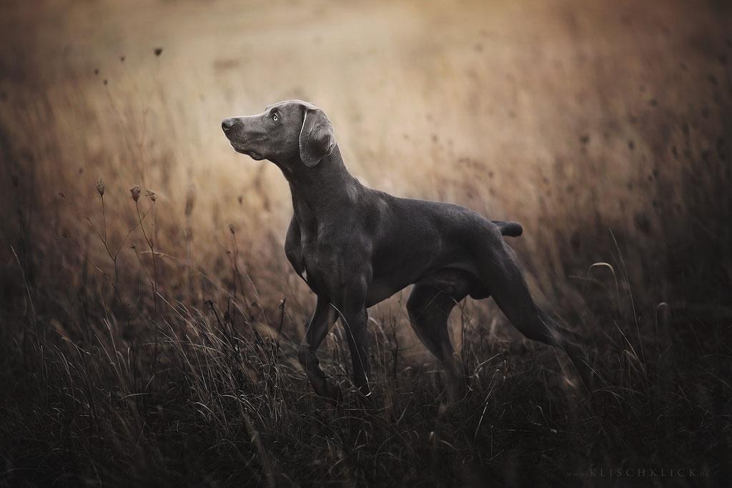 Weimaraner Hundefotograf Berlin