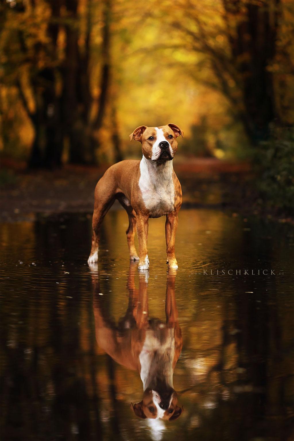 Staff Severin Klisch Tierfotografie Hunde