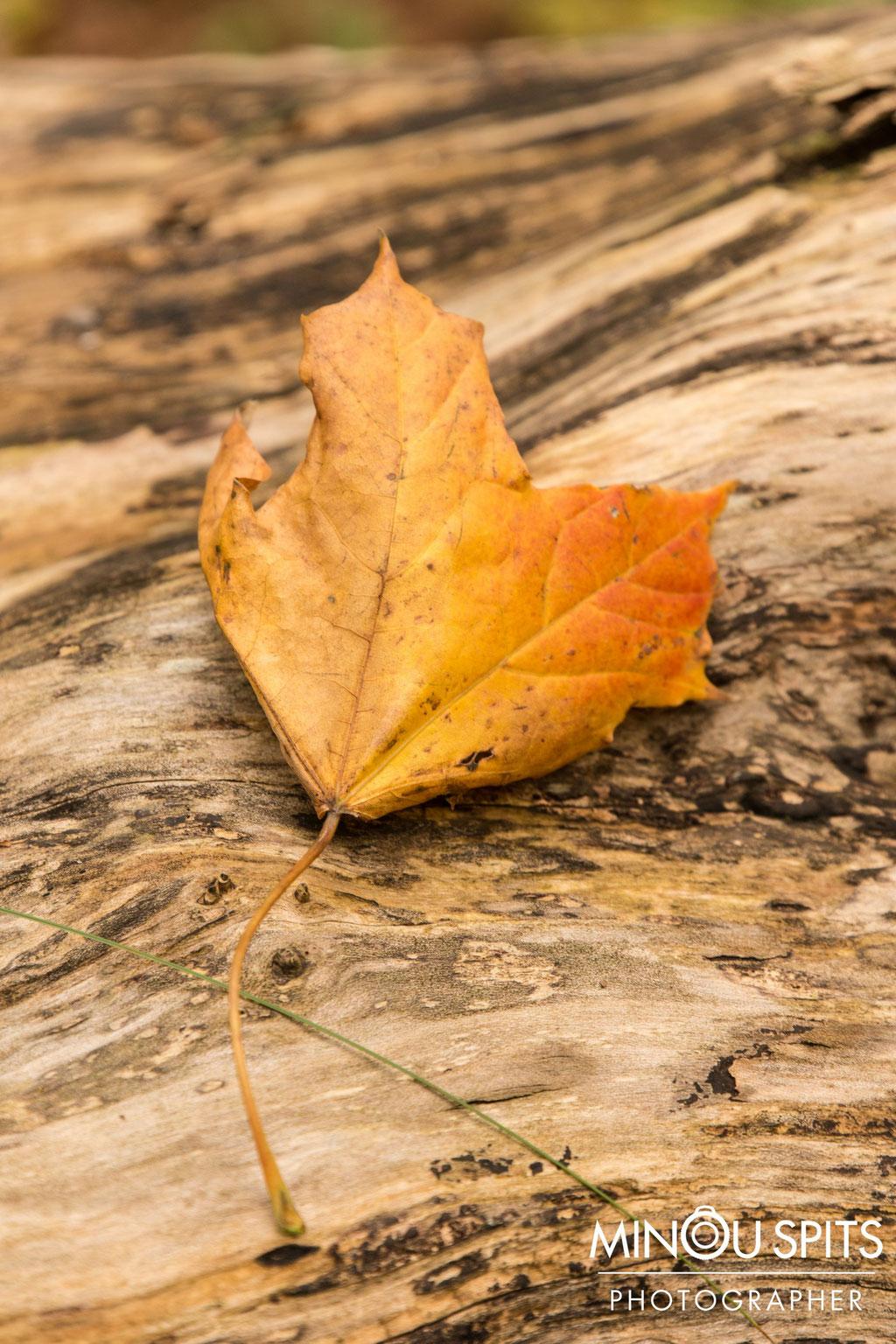 Herfstblad Geel