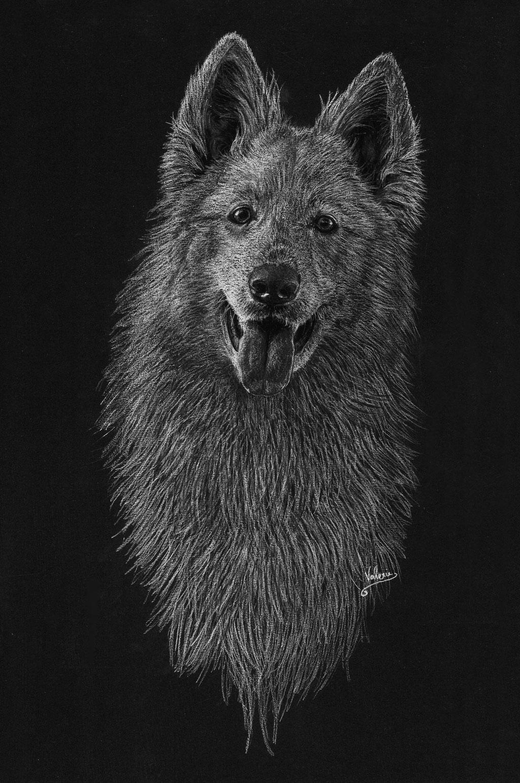 Dierenportret zwitserse witte herder: Wit potlood en houtskool op zwart papier (2017)