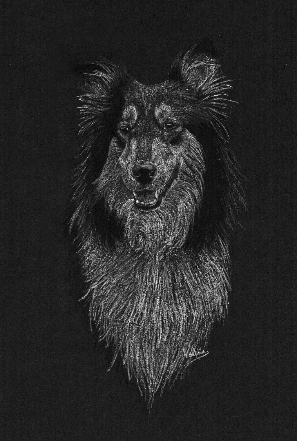 Dierenportret collie: Wit potlood en houtskool op zwart papier (2017)