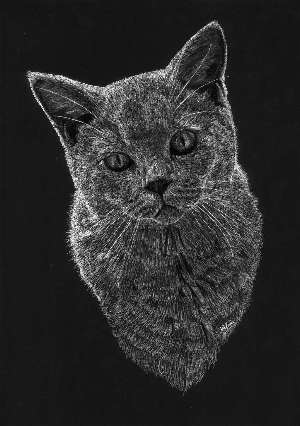 Dierenportret grijze kat: Wit potlood op zwart papier (2018)