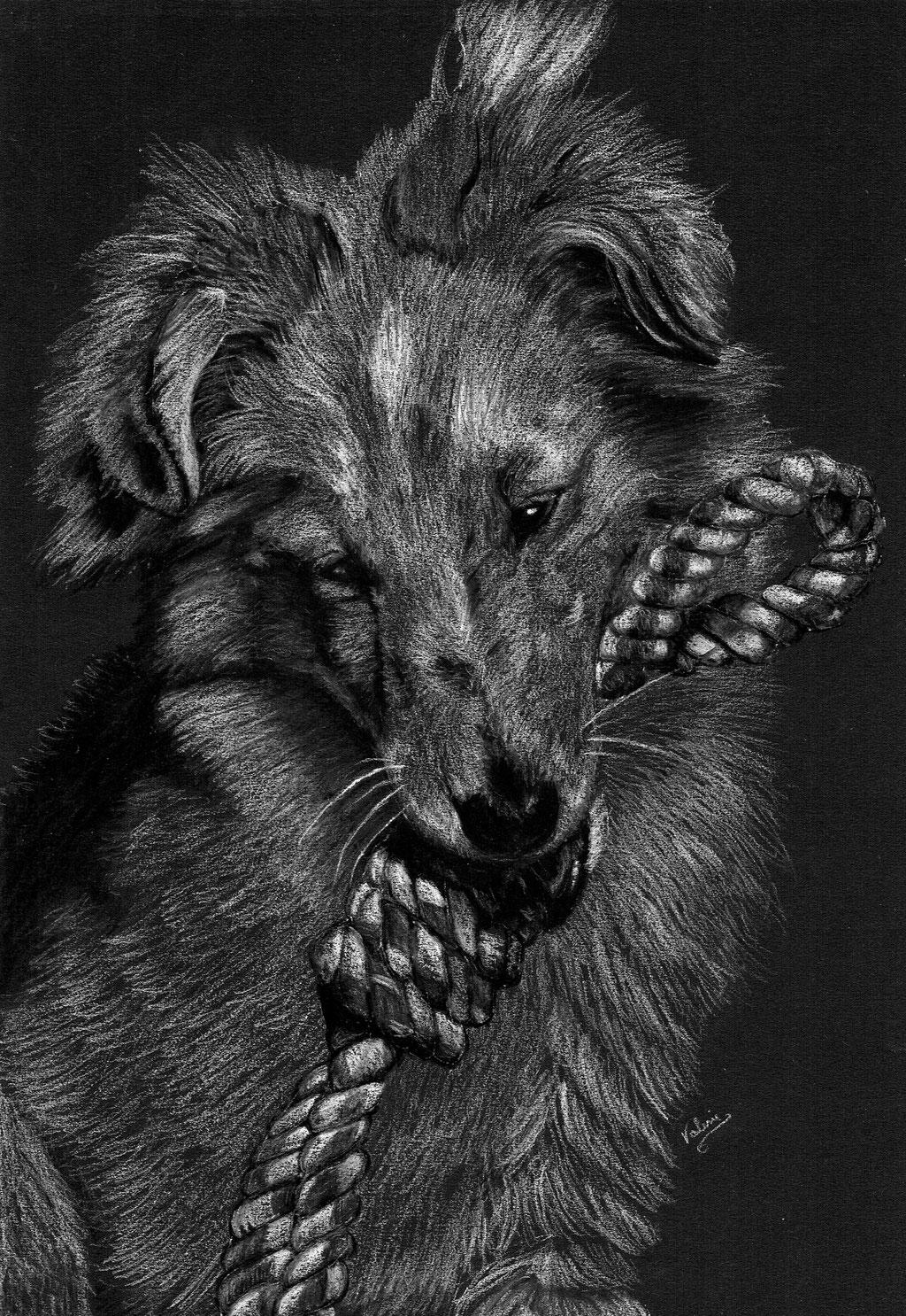 Dierenportret schotse collie met koord: Wit potlood en houtskool op zwart papier (2021)