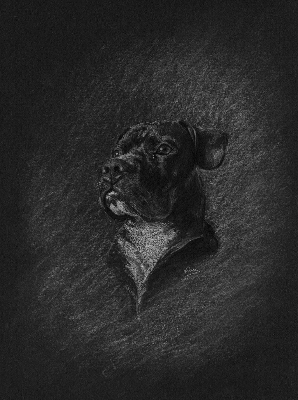 Dierenportret Pitbull: Wit potlood op zwart papier (2018)