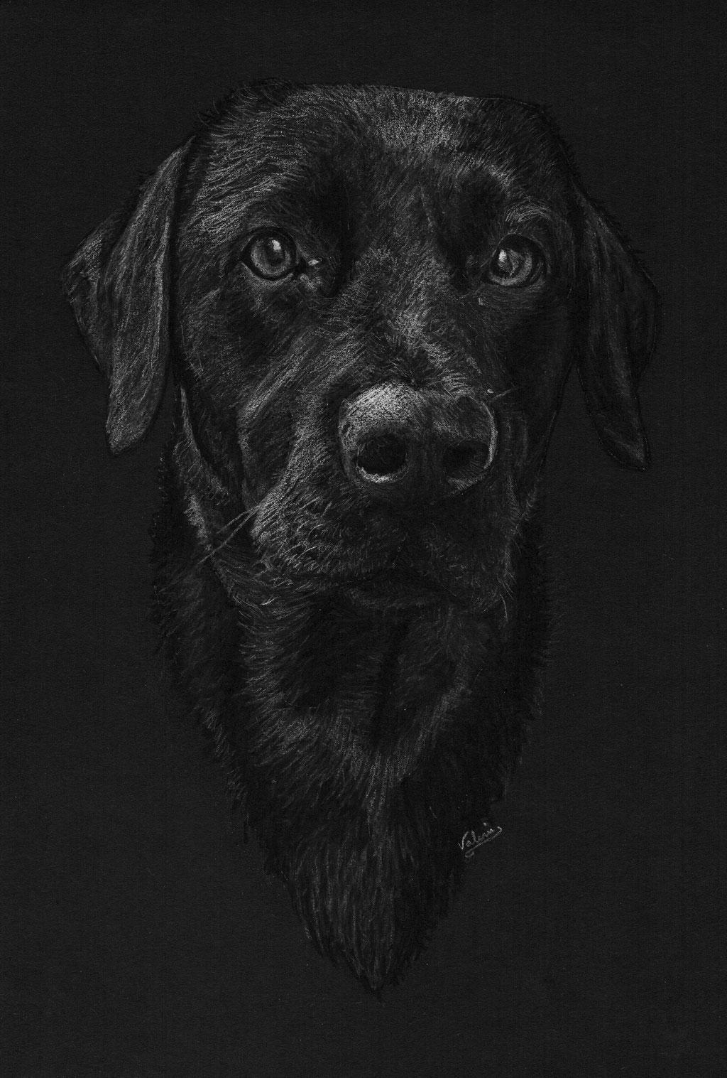 Dierenportret labrador retriever: Wit potlood op zwart papier (2017)