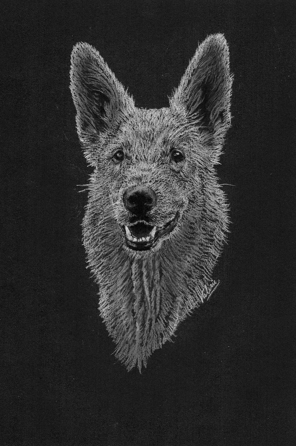 Dierenportret zwitserse witte herder: Wit potlood op zwart papier (2016)