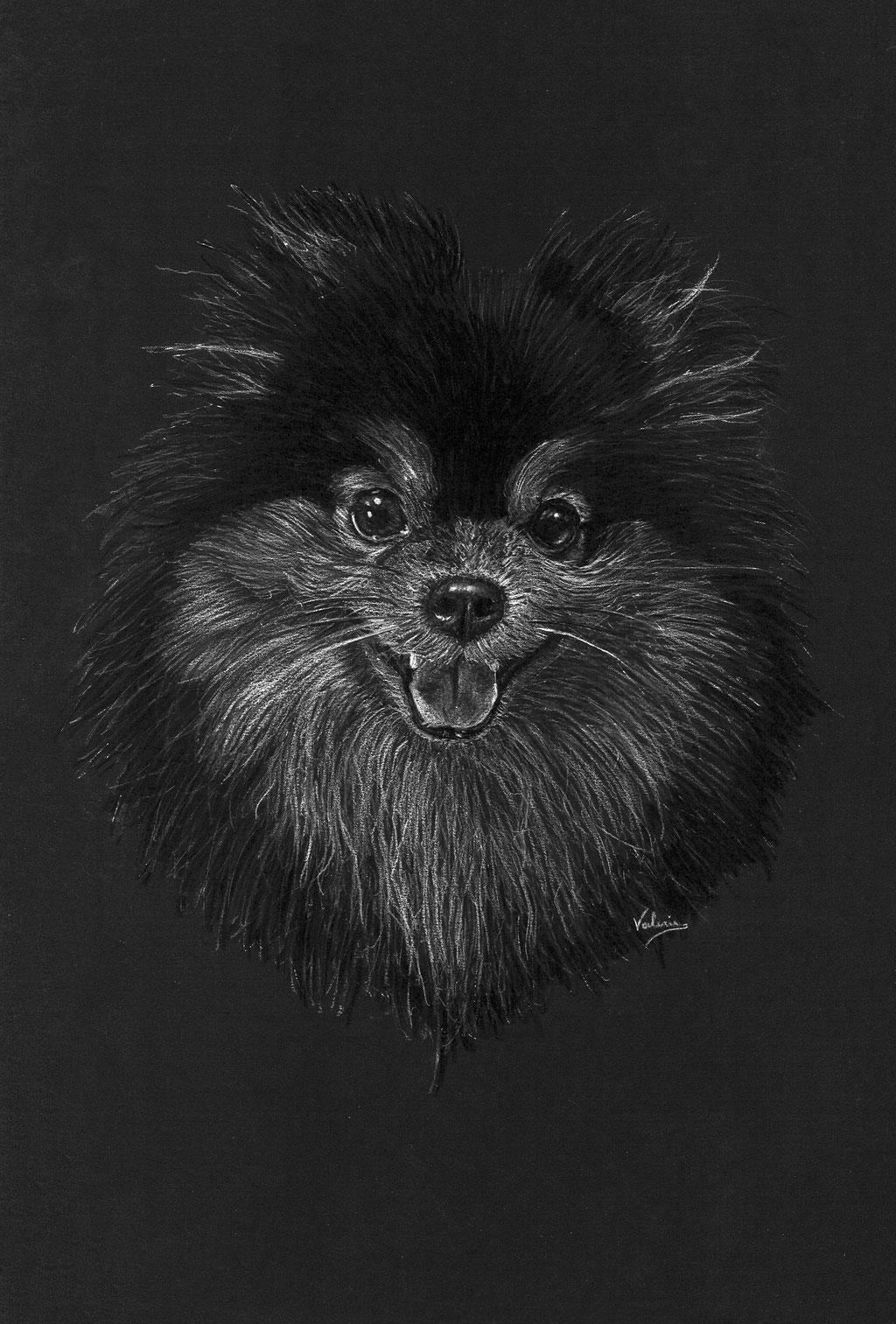 Dierenportret pomeriaan/dwergkees: Wit potlood en houtskool op zwart papier (2018)
