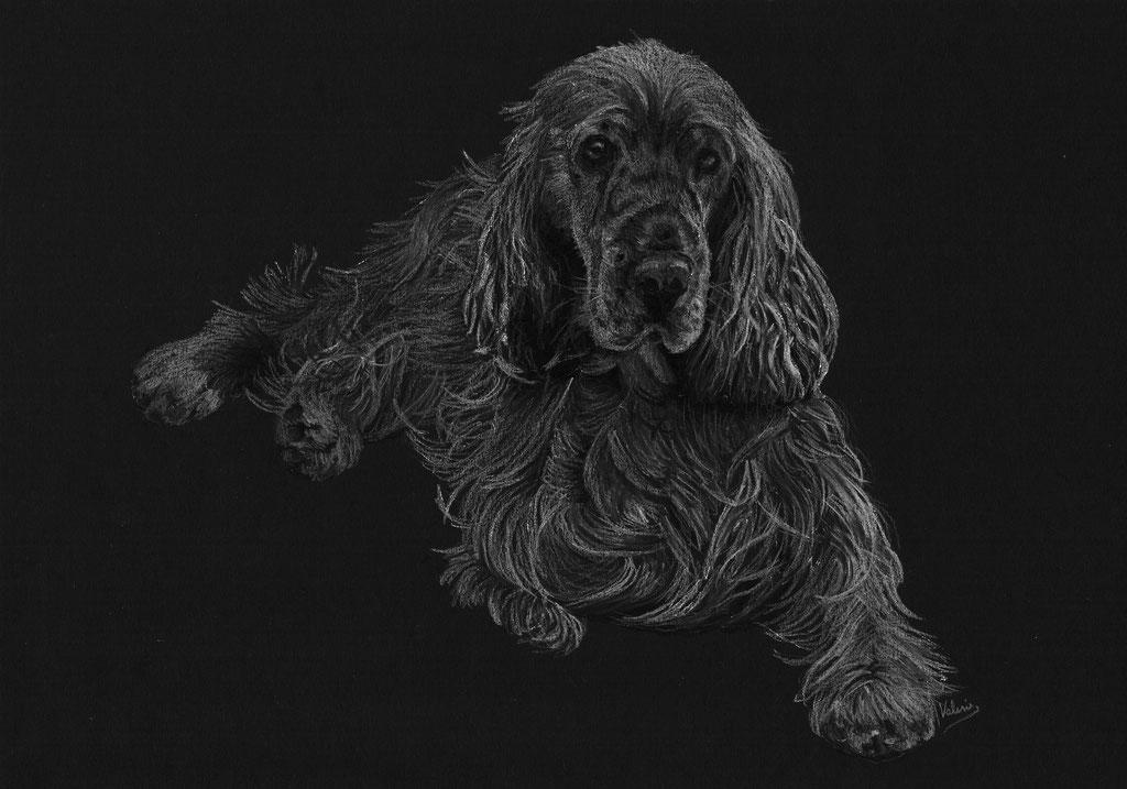 Dierenportret cocker spaniel: Wit potlood op zwart papier (2017)