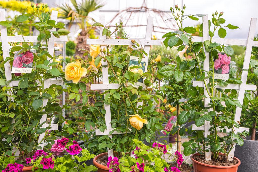 historische, englische, seltene Rosen, Duftrosen kaufen Würzburg
