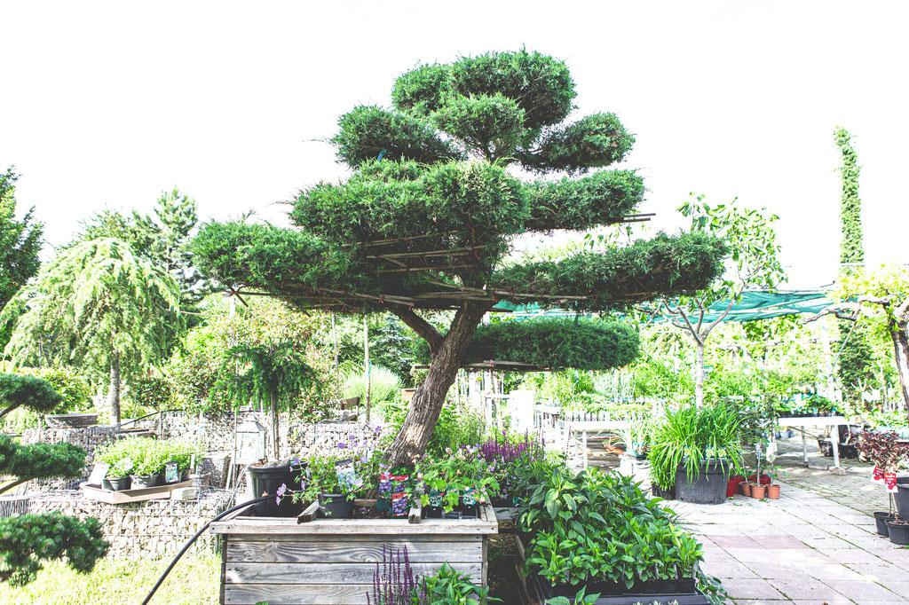 Preise Bonsai Luxus Baum