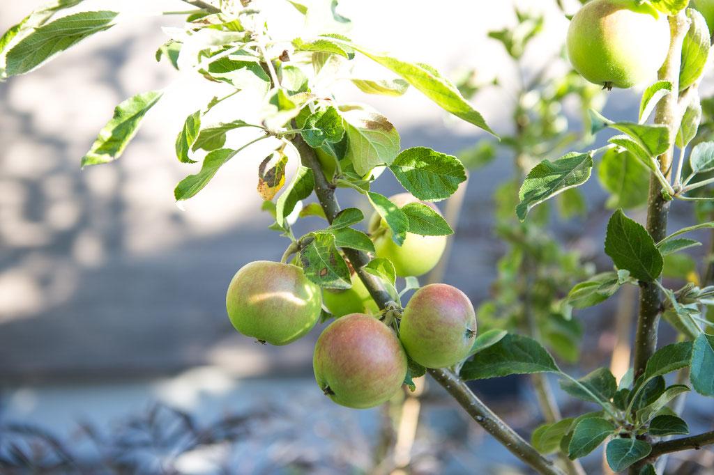 Obst, Obstbaum, Hausbaum kaufen Würzburg