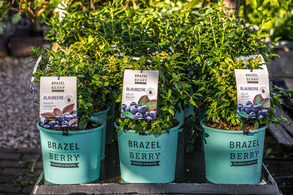 Brazel Berry kaufen, online bestellen Abholung in Würzburg